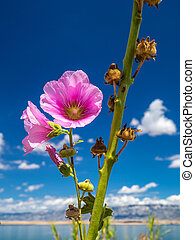 Hollyhock - Alcea rosea flower, sea and blue sky with clouds in background.