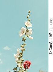 hollyhock flower blossom in garden