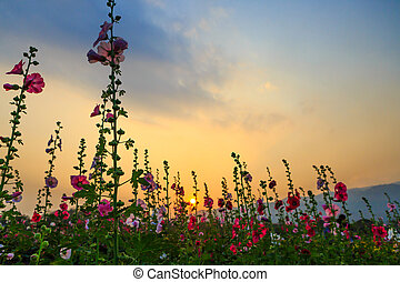 hollyhock flower garden with sunset sky