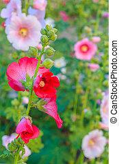 hollyhock flower garden with sunset sky