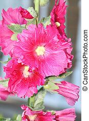 Hollyhock, Red - Hollyhock (Alcea roses) is a hardy ...