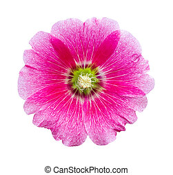 Hollyhocks flower isolated
