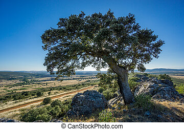 holm oak backlit against blue sky - Widen angle view of holm...