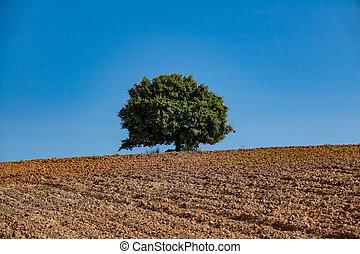 Holm oak over cultivated land against blue sky - Holm oak on...