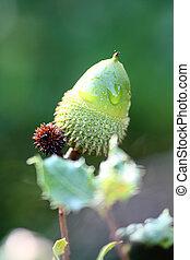 Holm Oak tree fruit - Holm Oak fruit commonly named acorn...