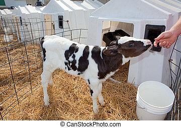 holstein の子牛