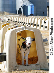 Holstein Calf - Holstein calf standing in a hutch on a large...