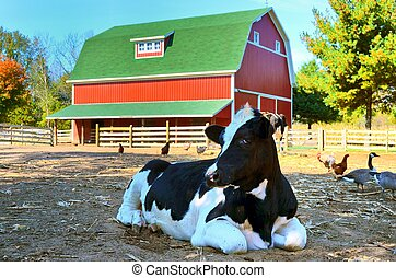 Holstein cow in barnyard - Black and white cow in barnyard ...