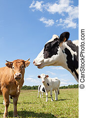 Holstein dairy cows with a Limousin beef cow in a pasture, head portrait of the Holstein