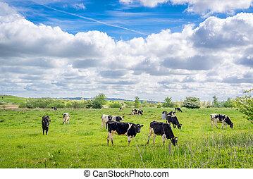 Holstein-Frieser cows on a field