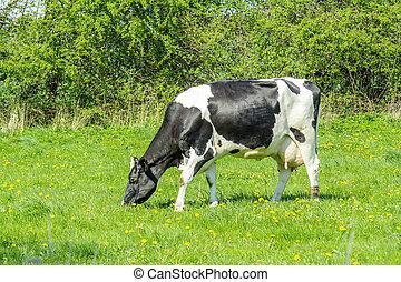 Holstein Friesian cow on green grass