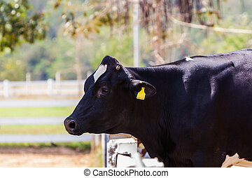 holstein, friesian, cow.
