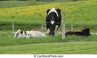 Holstein Friesians cattles in the p - Holstein Friesians...