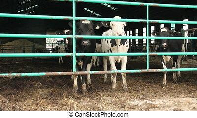 Holstein Friesians cows in a barn