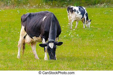 Holstein Friesians dairy cows in a field.
