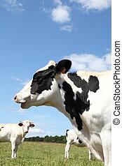 holstein, retrato, cabeça, vaca leiteria