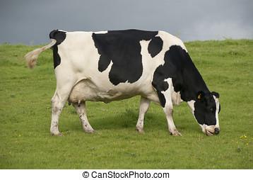 holstein, zagroda, nabiałowa krowa, uk