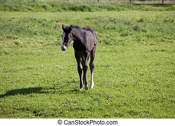 Holsteiner foal on pasture