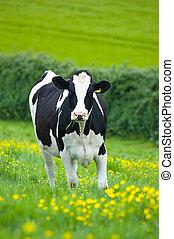 Holstein/Friesian cow in a buttercup field