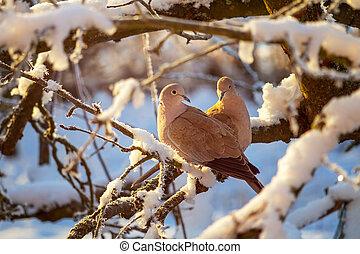 holub, pářit se