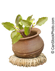 Holy basil in a clay pot