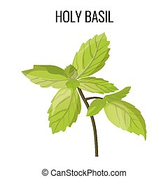Holy basil isolated stem with green leaves on white. Vector...
