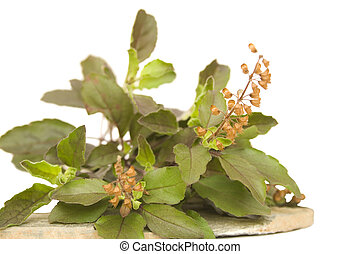 Holy basil thulsi on stone plate - Bunch of holy basil...