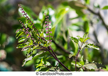 Holy basil tree