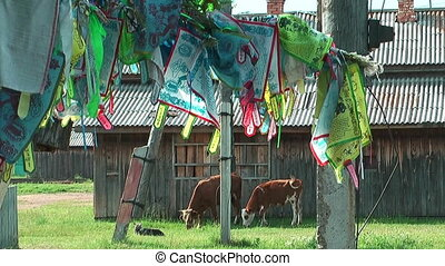 holy cows and prayer flags at ivolginsky datsan...