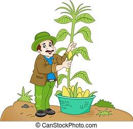 hombre, maíz, ilustración, cosechar
