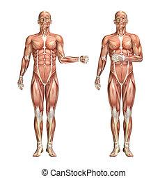 hombro, figura, médico, interno, externo, rotación, macho, ...