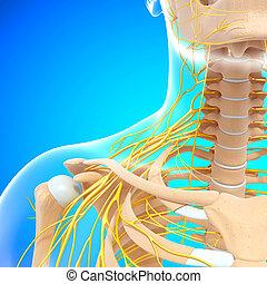 hombro, sistema nervioso, humano