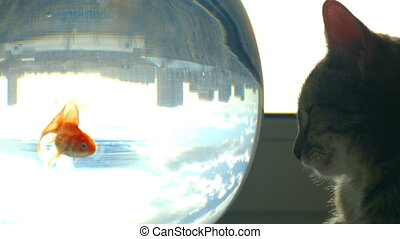 Domestic cat sitting on a window at the aquarium looking at goldfish