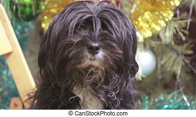 Home dog at Christmas tree