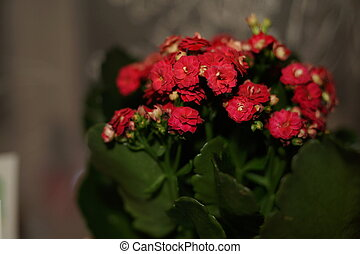 Home flower with red flowers and green leaves