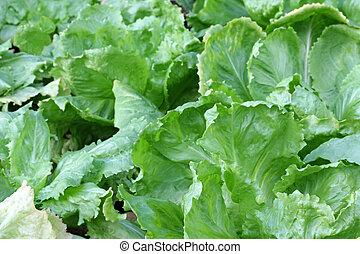 Broad-leaved Endive Salad leaves - Home grown Broad-leaved...