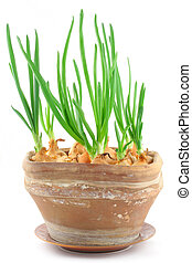 home-grown chive in a vintage pot