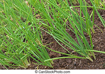 Home grown green spring onion growing in soil ready to harvest