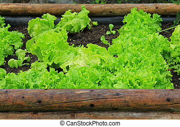 Home-grown vegetable to make fresh salad