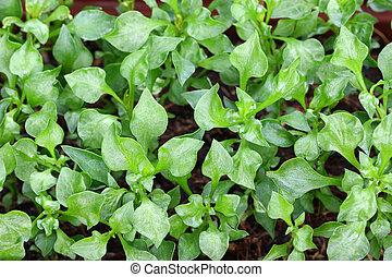 Home-grown Watercress (Nasturtium officinale) in the garden