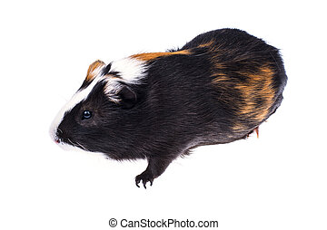 Home guinea pig on white
