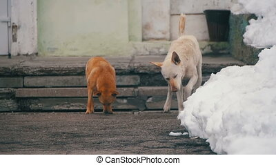 Home less White and Grey Dogs Mark Territory on a Snowy Street in Winter. Slow Motion