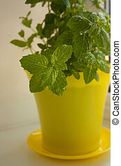 Home Organic Peppermint, Mentha piperita, on a window sill, gardening. Yellow pot with the ground.