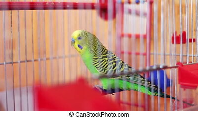 Home Parrot in a Bird Cage