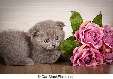 Little playful Scottish kitten playing with flofer of rose