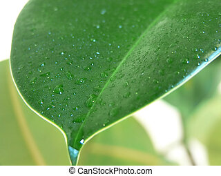 Home plant (ficus) leaves close up