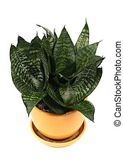 Home plant in flowerpot. Isolate on white background