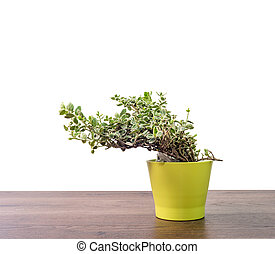 Home plant in pot