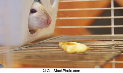 Home Rat in a Cage Looks Out of a Plastic House and Sniffing Food