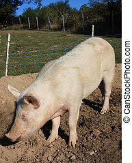 Homebred pork - A large pink pig stands in a small pen on a...